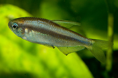 "Inpaichthys sp. ""Yellow"" – samice"