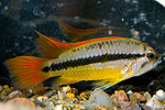 "Apistogramma cacatuoides ""Orange"""
