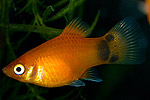 "Xiphophorus maculatus ""Red Mickey Mouse"""