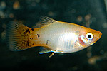 "Xiphophorus maculatus ""White Red Tail"""