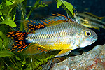 "Apistogramma cacatuoides ""Double Red"""