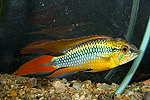 "Apistogramma agassizii ""Double Red"""