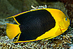 Holacanthus tricolor 